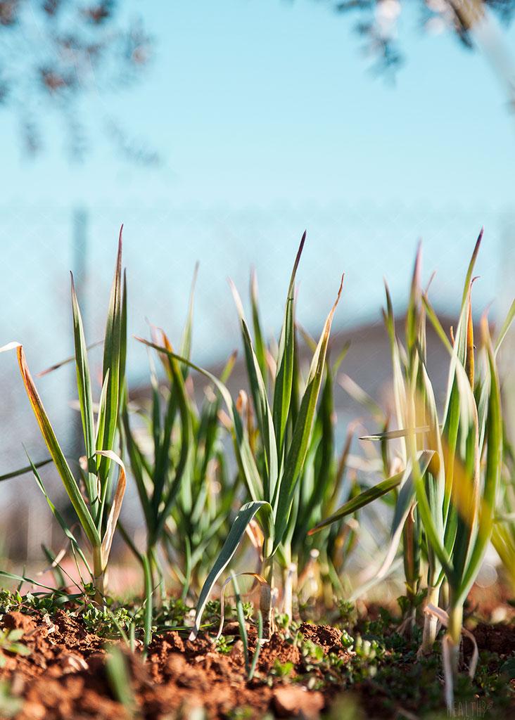 Lukovice u zemlji na suncu